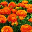 Ранункулюс (лютик) оранжевый - 15шт