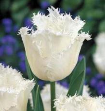 Тюльпан Ханимун 5шт