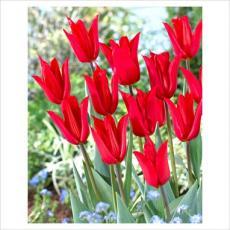 Тюльпан Тихун 5шт