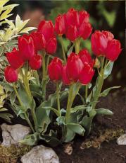 Тюльпан Ред букет 5шт