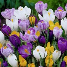 Крокусы крупноцветковые суперсмесь 50шт