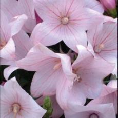Платикодон розовый