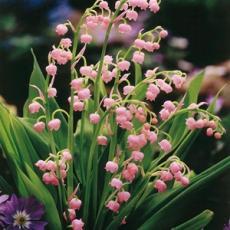 Конвалария (Ландыш) майский розовый 5шт