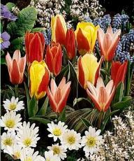 Тюльпаны Грейга смесь 5шт
