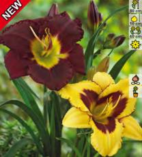 Лилейники бордово-желтая суперсмесь 4шт