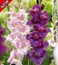 Гладиолусы розово-пурпурная суперсмесь 20шт