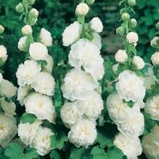 Шток-роза махровая белая