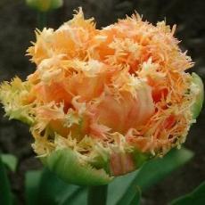Тюльпаны Эсприт 8шт в упак