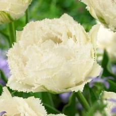 Тюльпан Сноу Кристал 8шт в упак