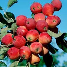 Яблоня Ранетка (осенний сорт)