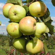 Яблоня Банановое (зимний сорт)
