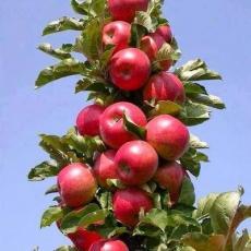 Яблоня колоновидная Обелиск (осенний сорт)