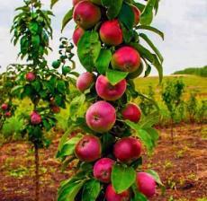 Яблоня колоновидная Арбат (осенний сорт)