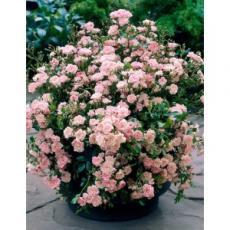 Роза почвопокровная в ассортименте С2 15-20см