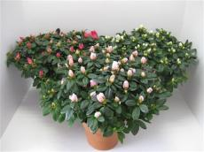 Рододендрон в ассортименте С5 50-70см