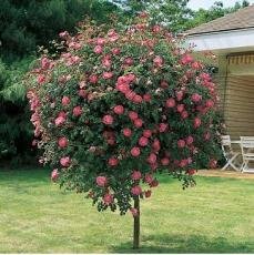 Роза на штамбе  в ассортименте Pa120-140 С5