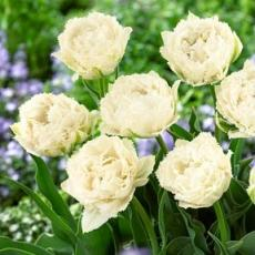 Тюльпан Сноу Кристал 5 луковиц в упаковке
