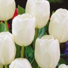 Тюльпан Вайт  Принс 2шт в упаковке