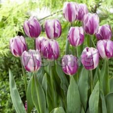 Тюльпан Фламинг флаг 4 луковиц в упаковке