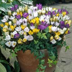Крокусы ботанические смесь 10шт/упак