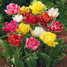 Тюльпаны махровые смесь 5 луковиц в упаковке