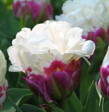 Тюльпан Дабл Полар 4 луковицы в упаковке