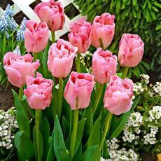 Тюльпан Анжелика 5 луковиц в упаковке