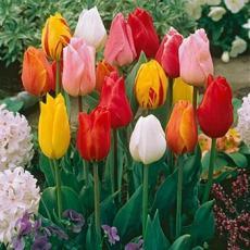 Тюльпаны триумф смесь 5шт
