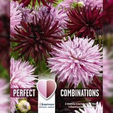 Смесь георгины кактусовые черные и розовые 3шт/упак