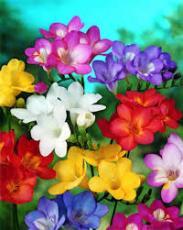 Фрезия смесь цветов 7шт