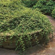 Стефанандра надрезаннолистная Криспа в контейнере С-5 30-50см