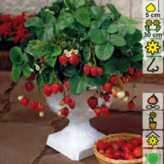 Клубника (земляника садовая) ананасная Остара 3шт