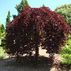Бук лесной Пурпур Фонтан C5 PA 140-150см