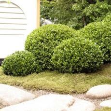 Самшит вечнозеленый С5 20-30см шар