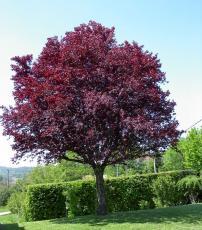 Слива растопыренная Писарди С-7,5 230-250см дерево